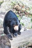 Sitting Malayan sun bear,Helarctos malayanus,  with large claws Royalty Free Stock Photos