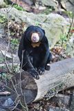 Sitting Malayan sun bear,Helarctos malayanus,  with large claws Stock Photo