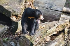 Sitting Malayan sun bear,Helarctos malayanus,  with large claws Stock Photos