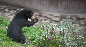 Sitting Malayan sun bear Royalty Free Stock Image