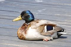 Sitting mallard duck Royalty Free Stock Photo