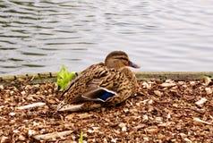 Sitting Mallard Duck Royalty Free Stock Image