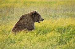 Sitting in the Meadow. Female Coastal Brown Bear (Ursus arctos) grazing in a meadow in Silver Salmon Creek area, Lake Clark National Park and Preserve, Alaska Stock Photography