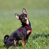 Sitting Miniature Pinscher Royalty Free Stock Image