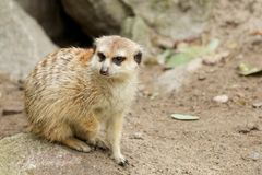 Sitting Mongoose. Cure and furry Mongoose sitting in the rubble Royalty Free Stock Photo