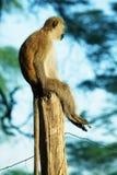 Sitting monkey Royalty Free Stock Image