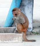 Sitting monkey. In north india Royalty Free Stock Images