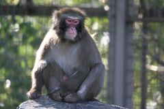 Sitting Monkey. Unhappy looking monkey sitting on a rock at the Calgary Zoo stock photography