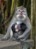 Sitting monkey Stock Image