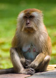 Sitting Monkey. Single monkey sitting and looking straight Stock Photography
