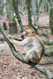 Sitting monkey at Affenberg (Monkey Hill) in Salem, Germany. The main attraction of Affenberg(Monkey hill) Salem is very special: More than 200 Barbary macaques stock photography