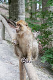 Sitting monkey at Affenberg (Monkey Hill) in Salem, Germany. The main attraction of Affenberg(Monkey hill) Salem is very special: More than 200 Barbary macaques royalty free stock photos