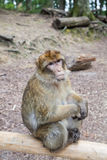 Sitting monkey at Affenberg (Monkey Hill) in Salem, Germany. The main attraction of Affenberg(Monkey hill) Salem is very special: More than 200 Barbary macaques royalty free stock photography
