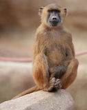 Sitting monkey Stock Photos