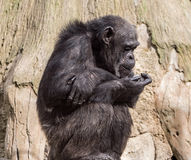 Sitting monkey chimp in a zoo on background of wood Royalty Free Stock Images