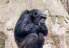 Sitting monkey chimp in a zoo on  background of wood Stock Images
