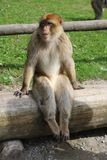 Sitting Monkey. The main attraction of Affenberg Salem is very special: More than 200 Barbary macaques live freely within a forest area of 20 hectares. A stock photo