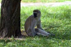 Sitting monkey. Portrait of a sitting monkey Stock Photos