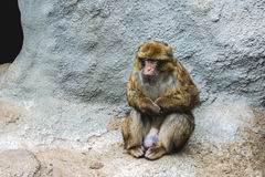 Sitting monkey. An relaxed monkey siting all alone Stock Photo