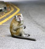 Sitting monkey. The monkey sits on the road and stares at curious tourists walking by, oblivious to traffic on the road Royalty Free Stock Image
