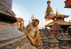 Sitting monkey on swayambhunath stupa Stock Photos