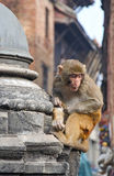 Sitting monkey on swayambhunath Stock Images