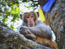 Sitting monkey on the  tree,  in Kathmandu Stock Image