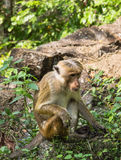 Sitting monkey Royalty Free Stock Photo