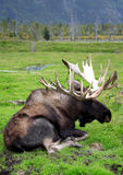 Sitting Moose Stock Photos