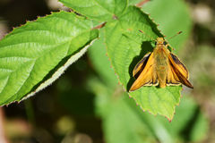 A sitting Moth. A moth that has landed on a leaf wings open Stock Image