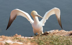 Sitting northern gannet Stock Photos