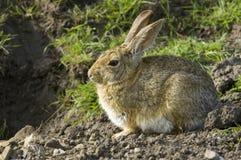 Sitting och vänta för kanin royaltyfri fotografi