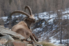 Sitting old Alpine Ibex in Italian Alps Stock Photography