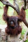 Sitting orang-utan (Pongo pygmaeus) Stock Images