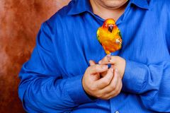Sitting on a palm of hand man is playing with parrot stock images