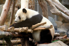 Sitting panda Royalty Free Stock Image