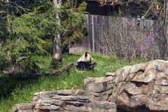 Sitting Panda Stock Image