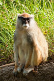 Sitting Patas Monkey Royalty Free Stock Images