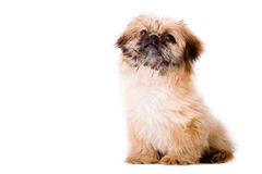Sitting pekingese dog Royalty Free Stock Photography