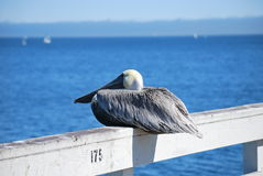 Sitting Pelican Royalty Free Stock Photo