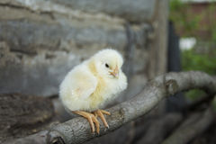 Sitting on a perch small yellow chicken. Royalty Free Stock Photos