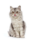 Sitting persian cat Royalty Free Stock Photos
