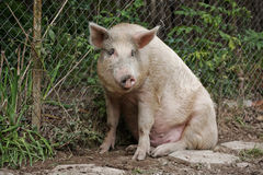 Sitting Pig Royalty Free Stock Photography