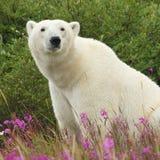 Sitting Polar Bear Stock Photos