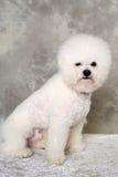 Sitting poodle dog Stock Image