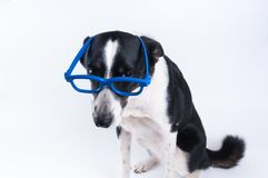 Sitting portrait of dog with calculator. Sitting portrait of dog in blue funny glasses Stock Images