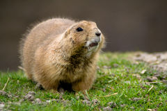 Sitting prairie dog Stock Photo