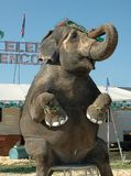Sitting Pretty. A circus elephant happily performs his trick and smiles for the camera stock images