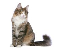 Sitting pretty. Norwegian Forest Cat sitting, on white background stock image