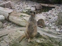 Sitting Pretty. Meercat at Fota wildlife park stock image